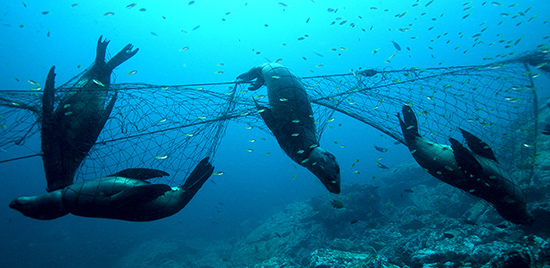 California sea lions in gill net