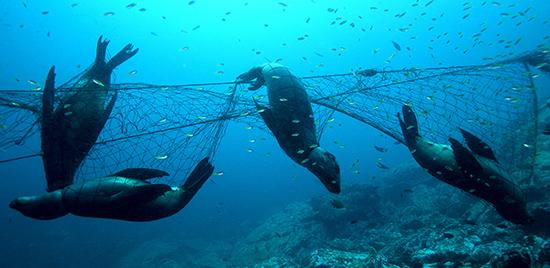 California sea lions in gill net